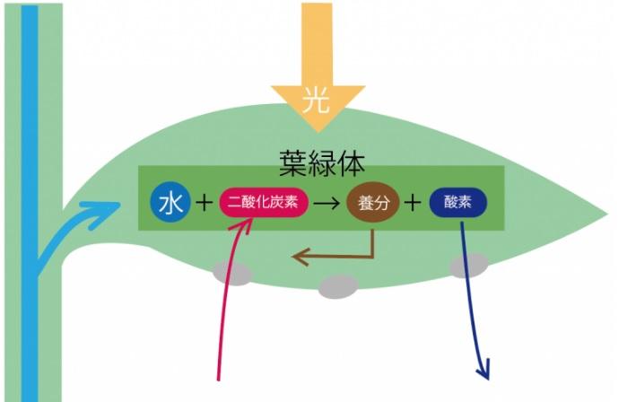 光合成(水・二酸化炭素・光・葉緑体)―「中学受験+塾なし」の勉強法
