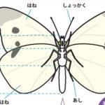 モンシロチョウとアゲハ(昆虫)―「中学受験+塾なし」の勉強法
